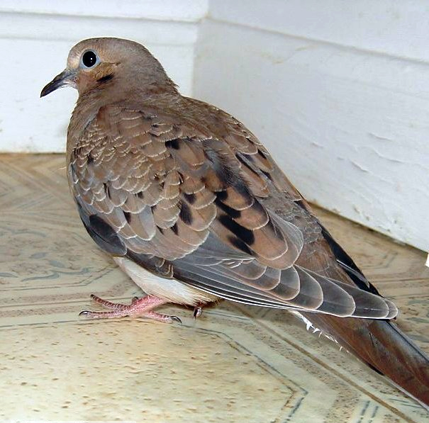 injured dove