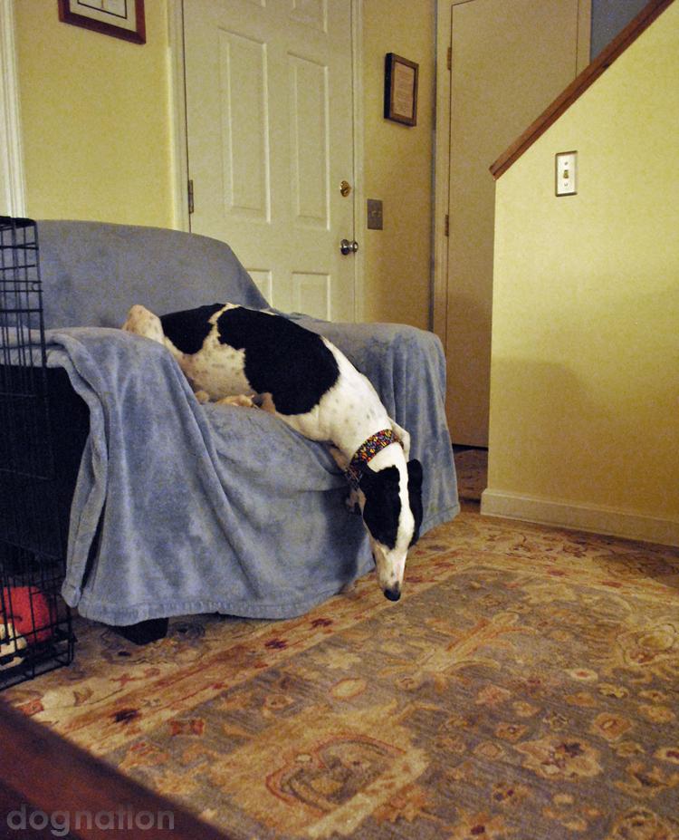wordless wednesday 339 - Merlin greyhound
