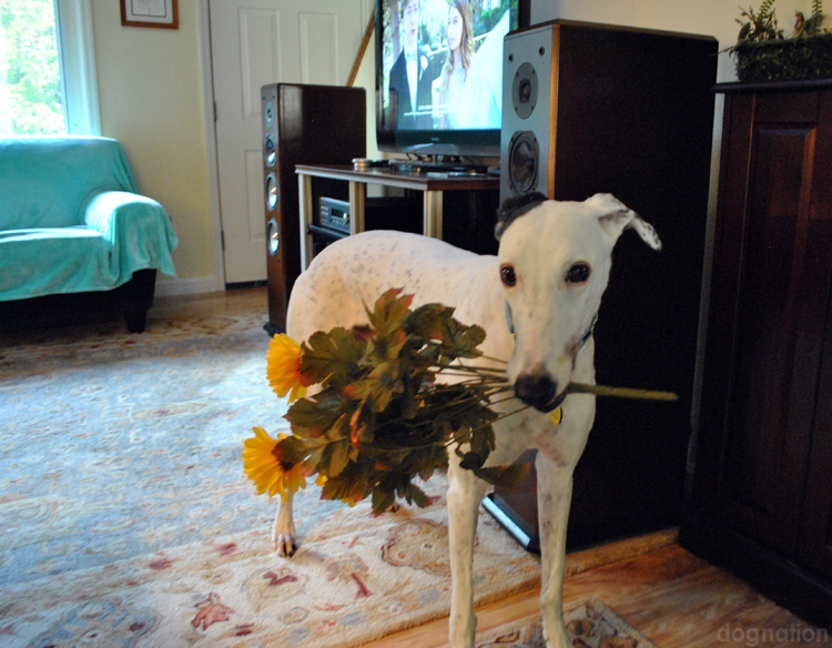wordless wednesday 345 - sugar greyhound