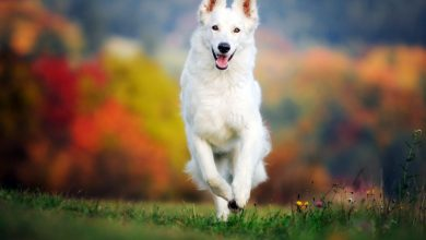 Photo of German Shepherd Adoption Directory
